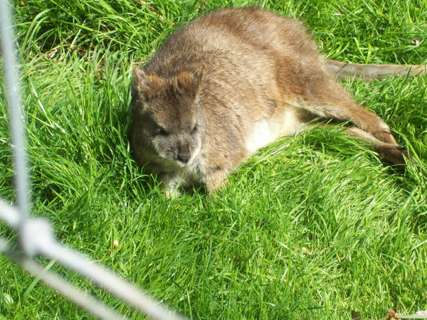 Grazing Wallaby by JamesTheDog