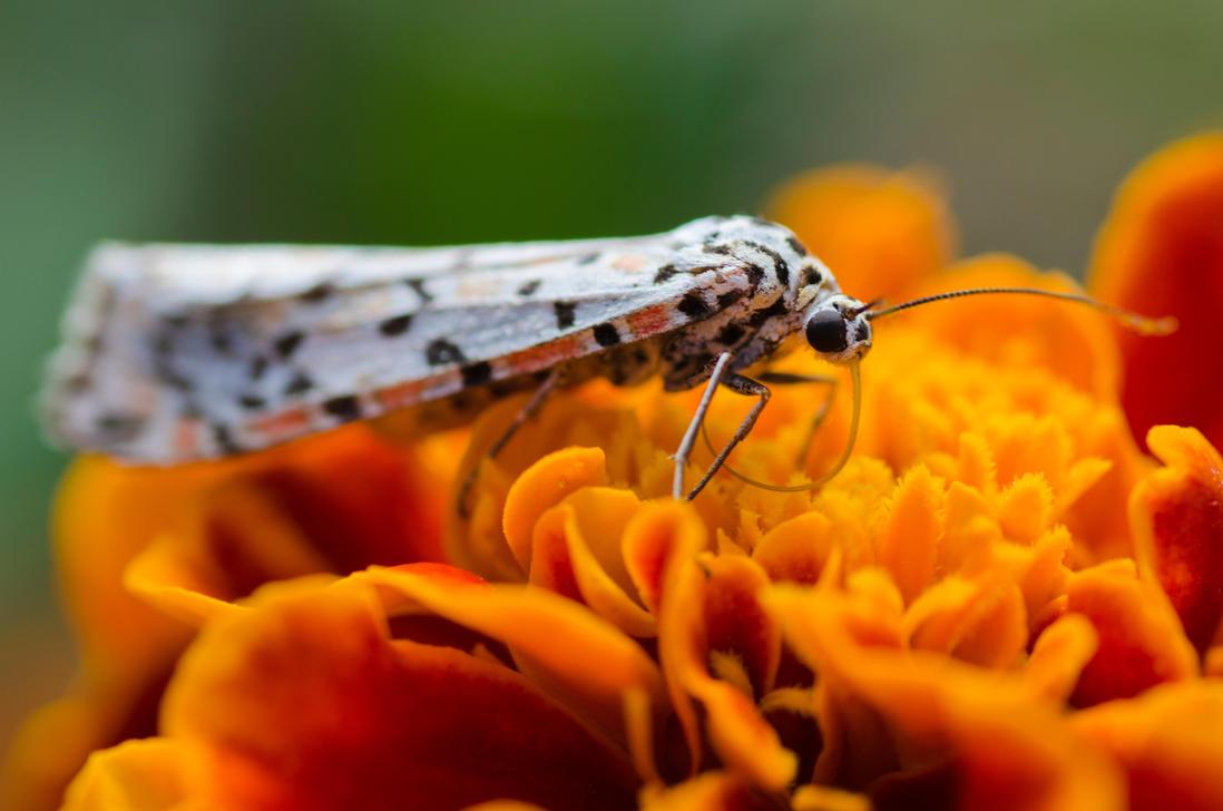 Butterfly on a marigold 2 by halfhandau