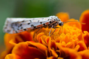 Butterfly on a marigold 2
