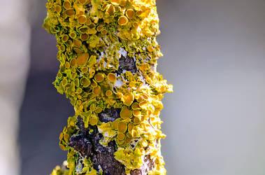 Lichen by halfhandau