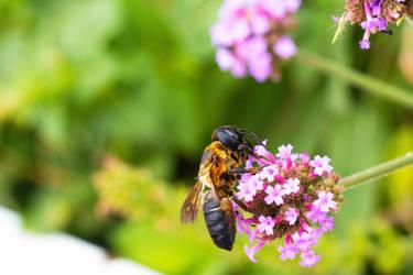 Carpenter Bee on Verbena Blooms