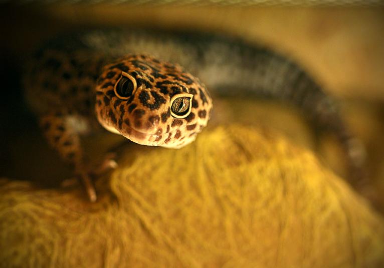 Leopard's Face by HomoColoris