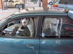 Big Dog Little Car