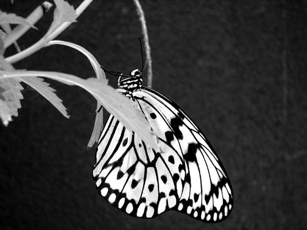 Black And White Butterfly By Tracy Me