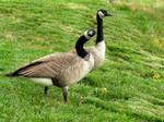 Odd Goose