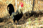 Majestic Chicken