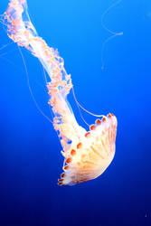 Swimming Jelly