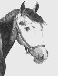Stallion in Black and White