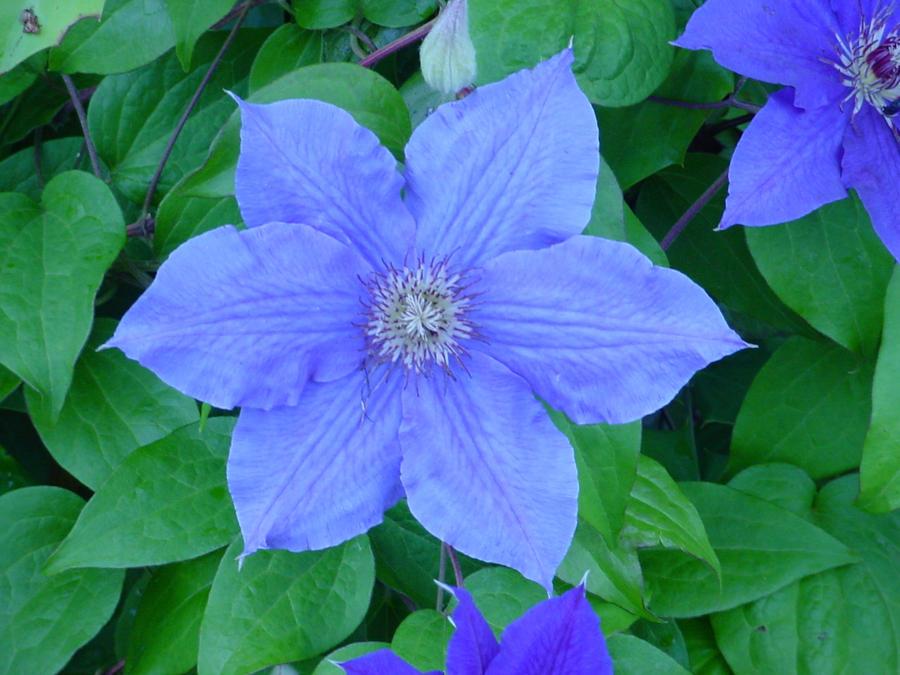 Blue flower by aragornsparrow
