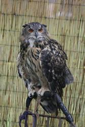owl by killxcaustic
