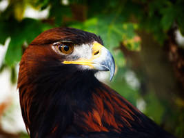 Golden Eagle by Bootcoot