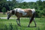 Paint Horse 54798