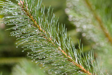 Moist pine tree leaves with water droplets. by OceansCurse
