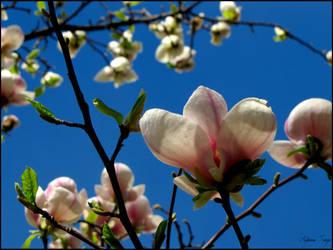 Magnolia by Azette