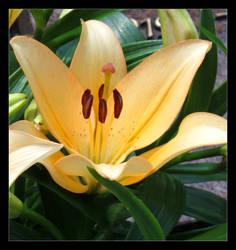 Lily by Aenea-Jones