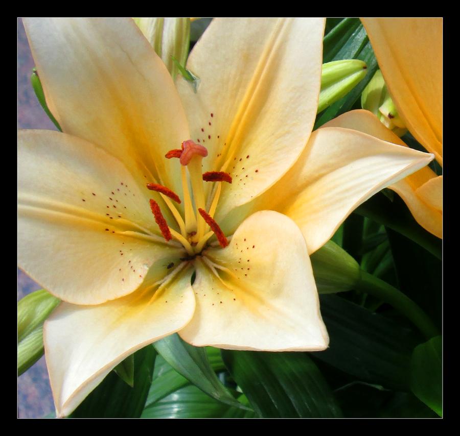 Lily II by Aenea-Jones