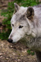 Canis Lupus II by Coccineus