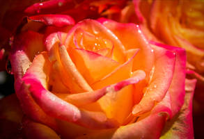 a rose is a rose is a rose. by Aenea-Jones