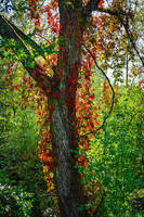 Red-haired Tree [Close-up] by Aenea-Jones
