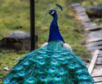 Mr Peacock III