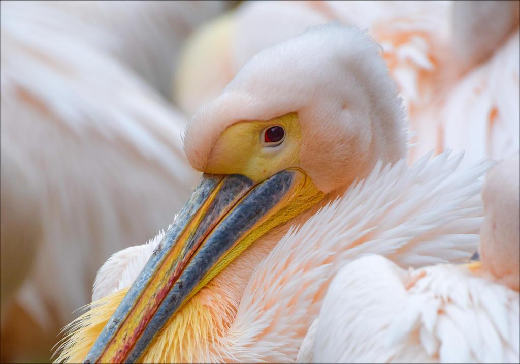 Pink Pelican by Aenea-Jones