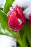 Late Snow by Aenea-Jones