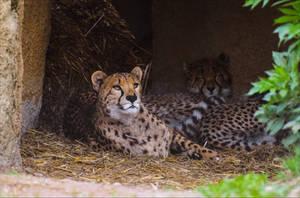 Cheetahs relaxing by Aenea-Jones
