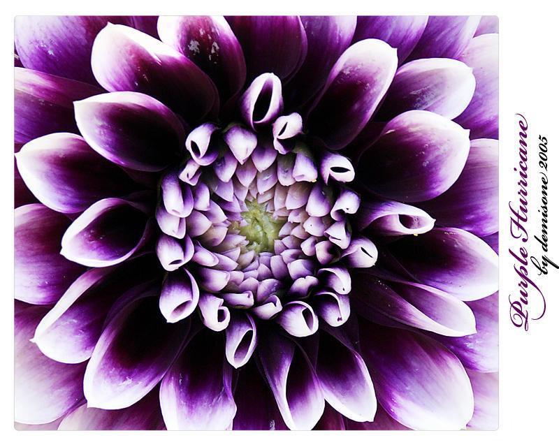 Purple Hurricane by demisone