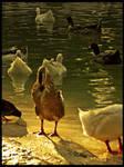 :Ducks pt. III: - Difference