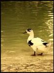 :Ducks pt. IV: - Suspicious