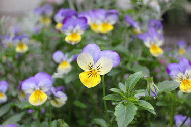 Yellow and Purple Pansy by luisoscarb