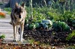 Adult male Czechoslovakian Wolfdog
