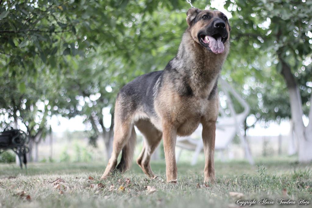Old School German Shepherd Dog By Xiadoraath On DeviantArt - Dora german shepherd