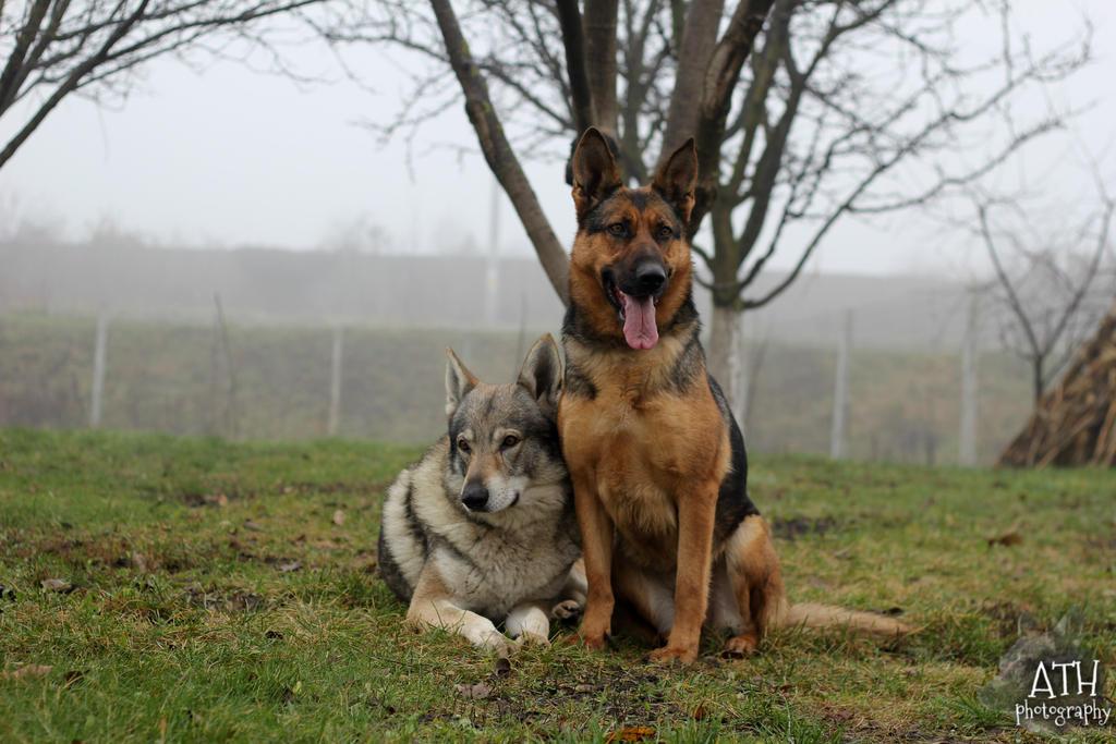 Czechoslovakian Wolfdog And German Shepherd Dog By Xiadoraath - Dora german shepherd