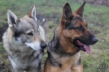 Czechoslovakian wolfdog and German Shepherd Dog