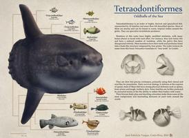 Order Tetraodontiformes by Edestoid
