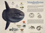 Order Tetraodontiformes