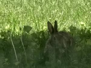 Little Rabbit (Year 6)