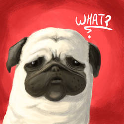 Pug of the day - What ?