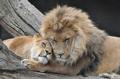 Lions Love by TheCookieLionKing
