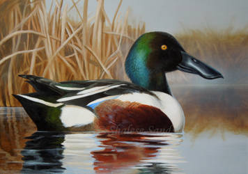 Northern Shoveler by ShaleseSands