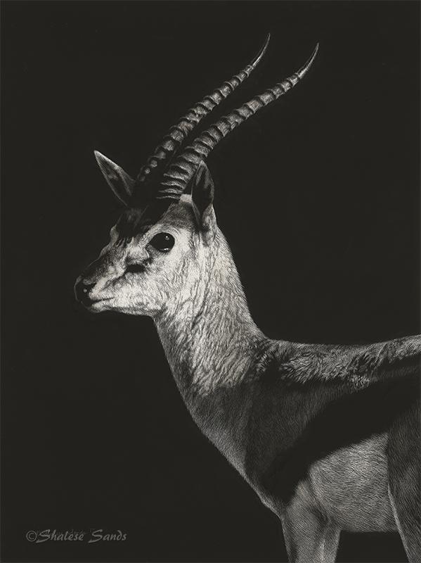 Thompson's Gazelle - Scratchboard by ShaleseSands