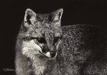 Gray Fox II - Scratchboard by ShaleseSands