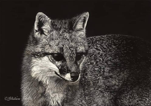 Gray Fox II - Scratchboard