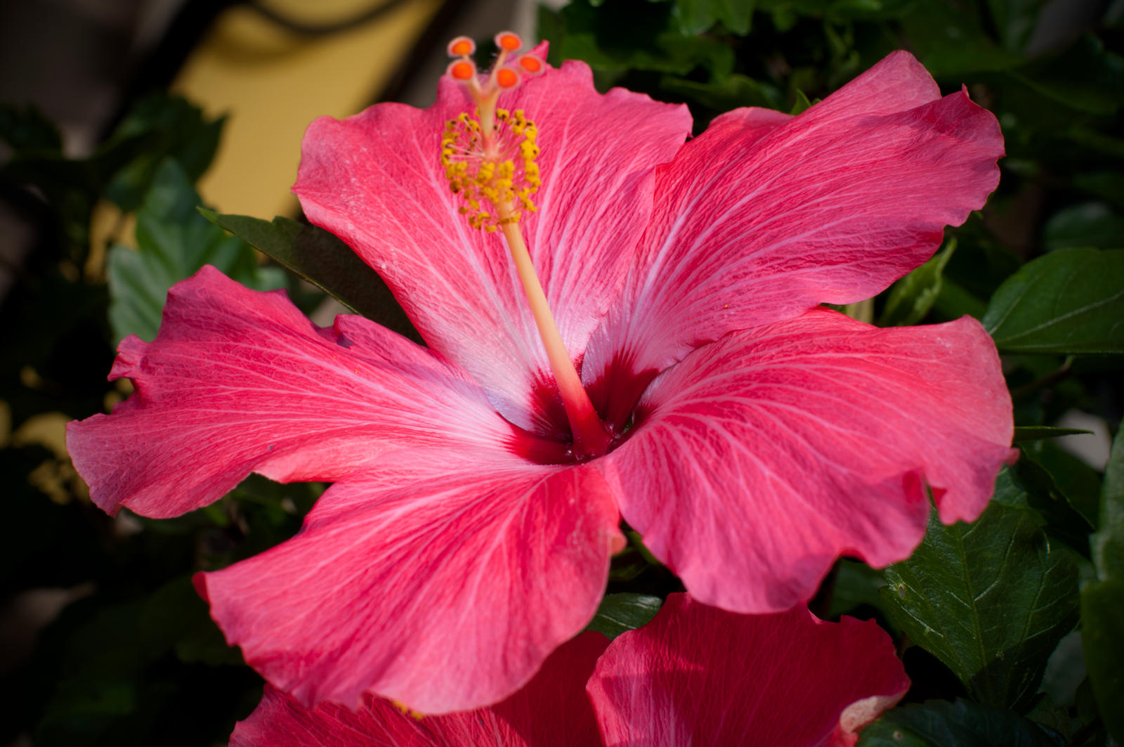 Hawaiian Hibiscus by 05Rex on DeviantArt