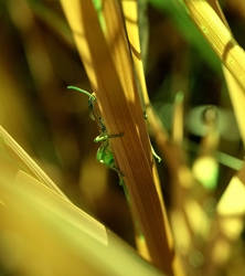 grasshopper_001 by Kemen1777