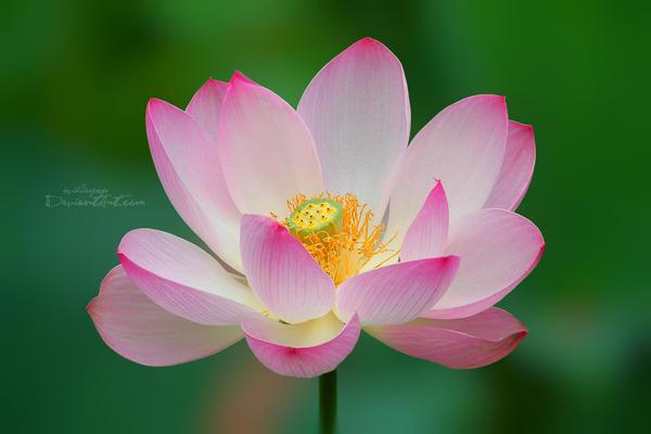 Water lily II by ovidiupop