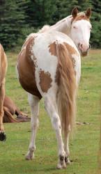 Paint Horse 06