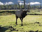 Elk 07
