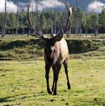 Elk 08